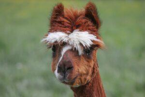 Wochenprogramm Alpakatrekking